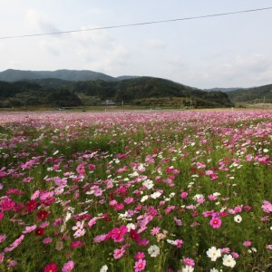 コスモス祭りin喜入前之浜町~ふるさとの祭りと音楽~ 2013.11.04